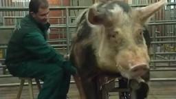 Большой хряк оплодотворяет свиней на станке зоо порно видео онлайн